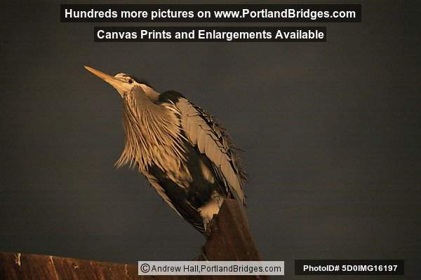 Blue Heron at Riverplace, Night (Portland, Oregon)