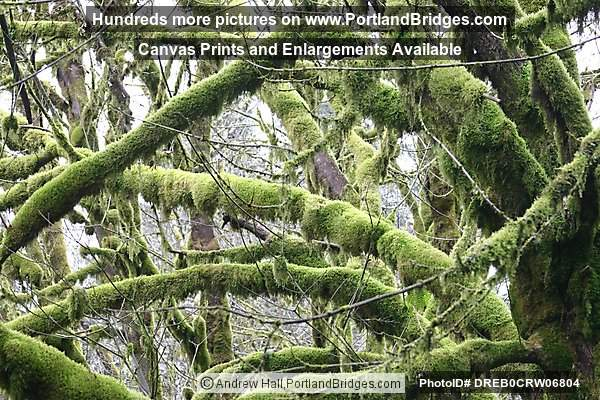 Tree Moss, Off Highway 18, west of Grand Ronde, Oregon