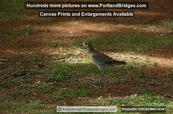 Oahu, Hawaii: Golden-Plover, which migrates from Alaska to Hawaii