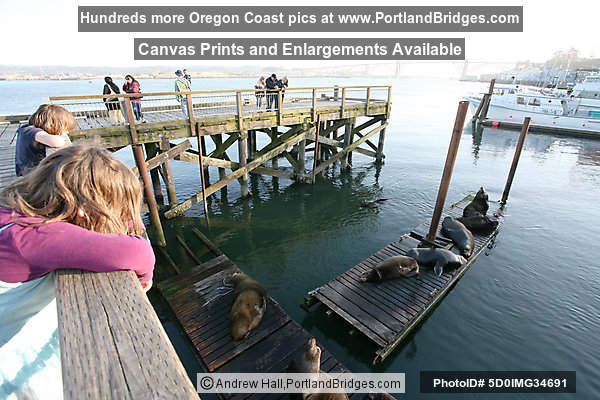 Sea Lions, Bayfront, Newport, Oregon