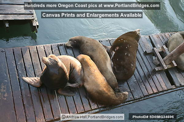 Sea Lions, Docks, Newport, Oregon