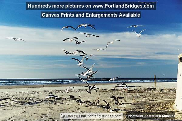 Seaside, Oregon Beach,  Seagulls
