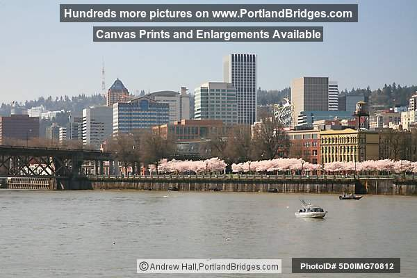 Portland City Buildings, Waterfront Blossoms, Willamette River