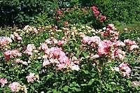 Portland International Rose Test Garden <i>(10 images) - shot on 06/17/2004</i>