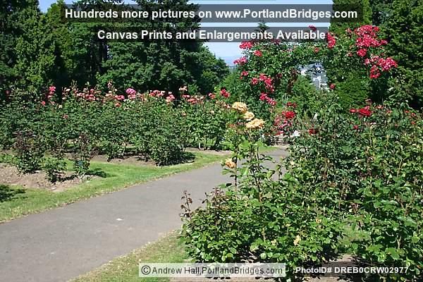 portland rose garden - Portland Rose Garden