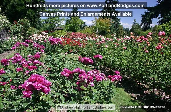 Portland rose garden photo dreb0crw03028 for Portland spring home and garden show 2017