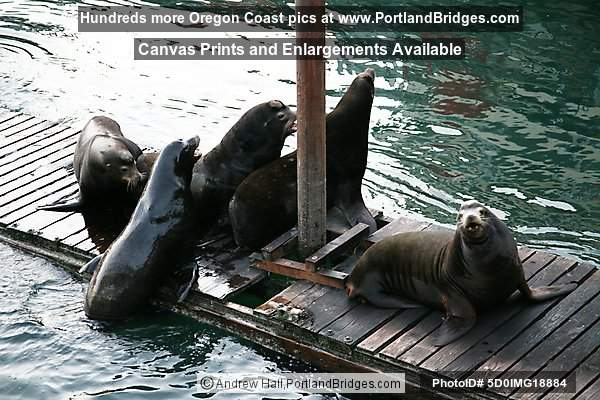 Sea Lions at Newport, Oregon, Bayfront