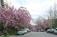 Portland SE Cherry Blossoms <i>(8 images) - shot on 04/14/2002</i>