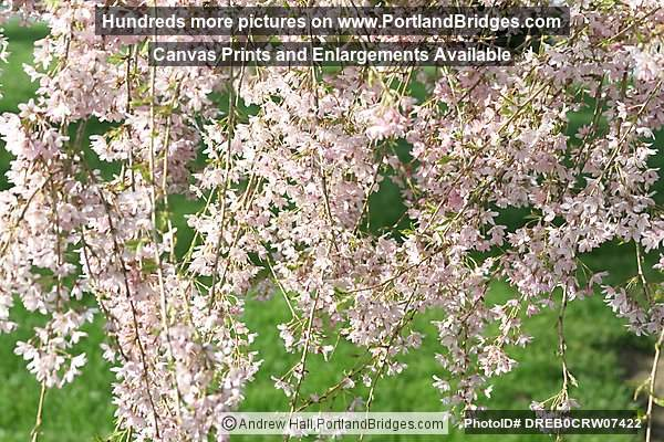 Spring Bloosoms, Closeup (Portland, Oregon)