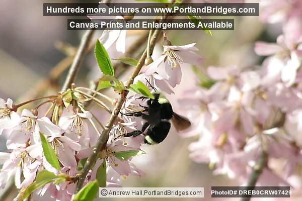 Spring Bloosoms, Closeup, Bee (Portland, Oregon)