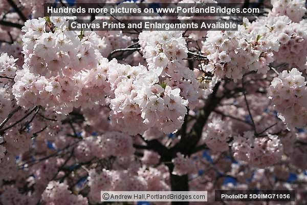 Waterfront Blossoms (Portland, Oregon)