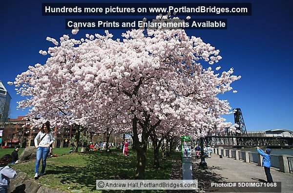 Waterfront Blossoms, Waterfront Park, Steel Bridge (Portland, Oregon)