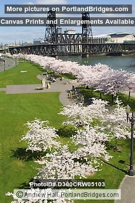 Steel Bridge and Cherry Blossoms, Waterfront Park (Portland, Oregon)