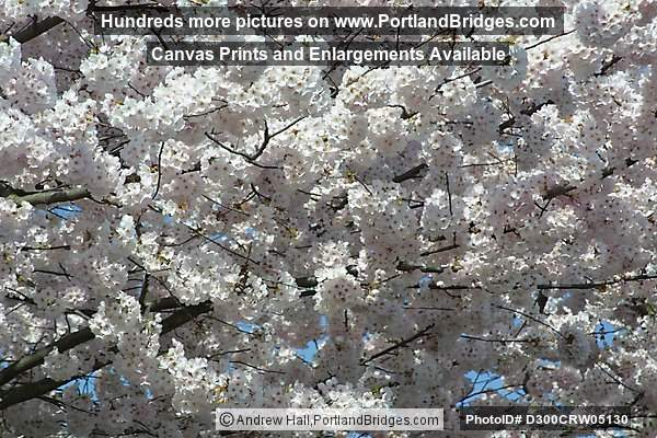 Waterfront Cherry Blossoms, Tom McCall Waterfront Park, Portland