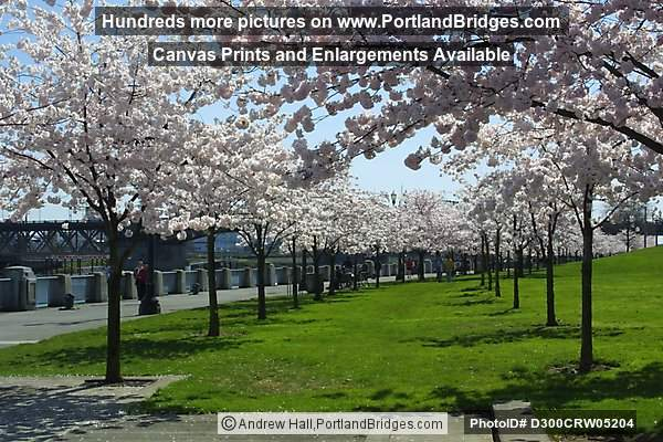 Tom McCall Waterfront Park Cherry Blossoms