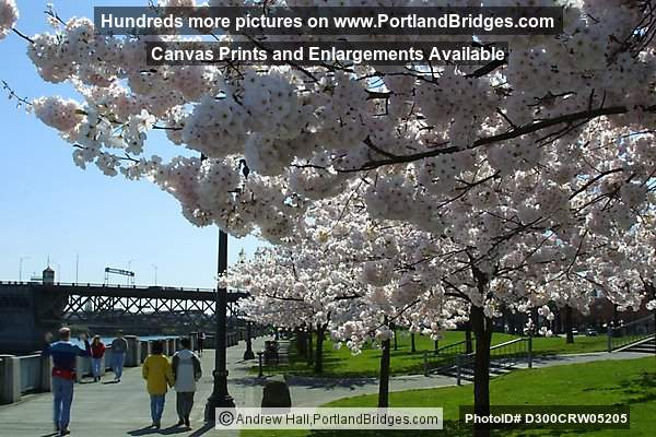 Tom McCall Waterfront Park Cherry Blossoms (Portland, Oregon)