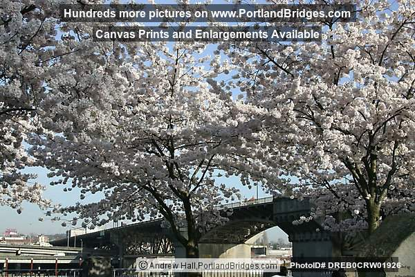 Burnside Bridge through cherry blossoms (Portland, Oregon)